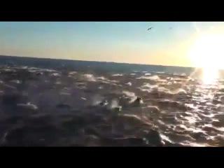Сто тысяч дельфинов в Калифорнии